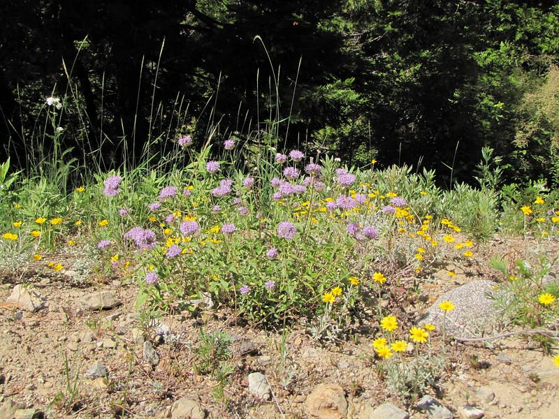 Monardella odoratissima (Trailhead Bigelow Lakes, Oregon Caves National Monument)