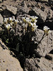 ??draba/ thlaspi  (near The Watchman, Crater Lake National Park)