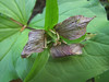 Trillium ovatum (Big Tree Trail, Oregon Caves National Monument)