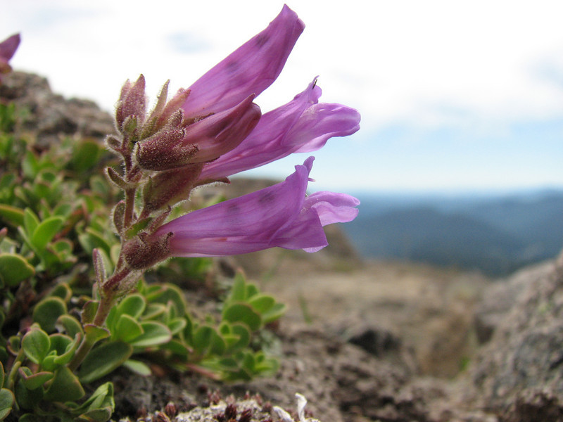 Penstemon davidsonii (Mountaineer Trail, Mount Hood, Oregon)
