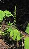 Piperia unalascensis? (Big Tree Trail, Oregon Caves National Monument)