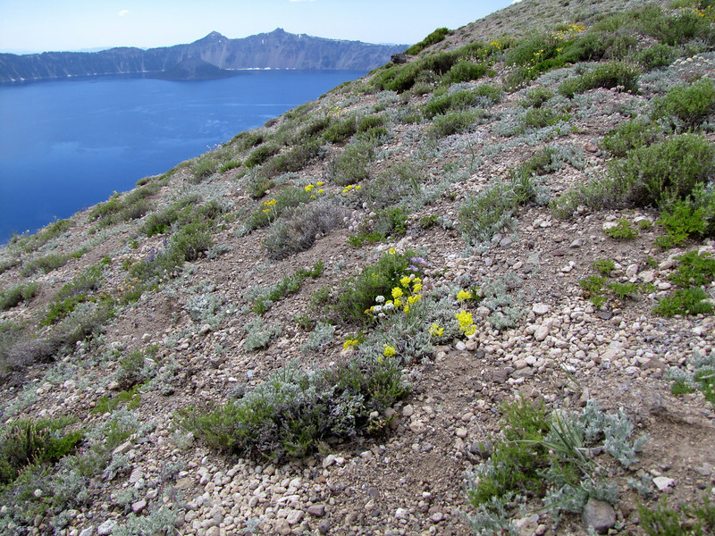 pumice habitat, Cloud Cap 2427m (Crater Lake National Park, Oregon)