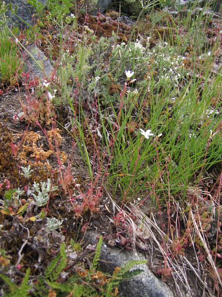 Montia parvifolia, Littleleaf Montia (between Bigelow Lake and Mount Elijah 1929m, Oregon Caves National Monument)