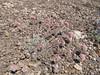 Eriogonum ovalifolium (Cloudcap, Crater Lake National Park, Oregon)