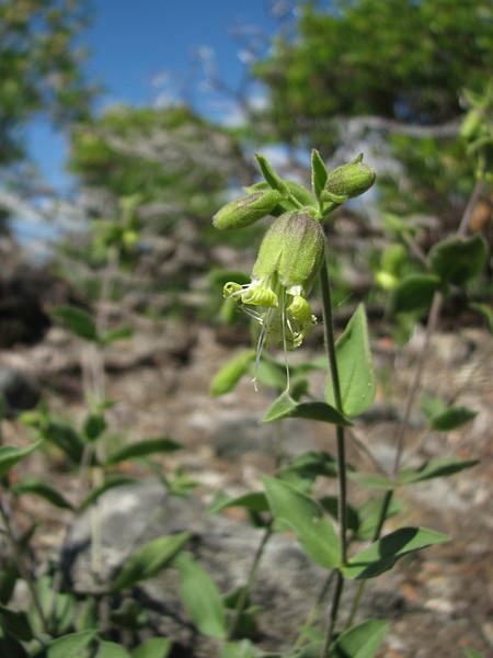 Silene campanulata ssp. glandulosa? Mount Elijah 1929m, Oregon Caves National Monument)