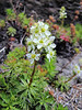 Luetkea pectinata (Mountaineer Trail, Mount Hood, Oregon)