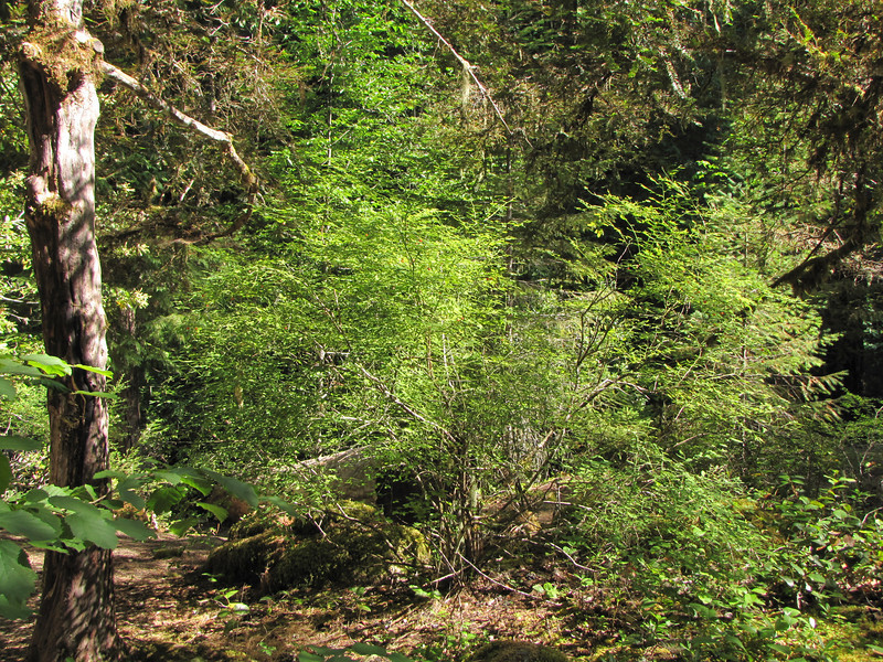 Vaccinium parvifolium? Cave Creek Campground near Oregon Caves National Monument