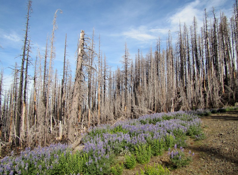 Destroyed forest with Lupinus spec. (along road to Cloud Cap Campground, Mount Hood)