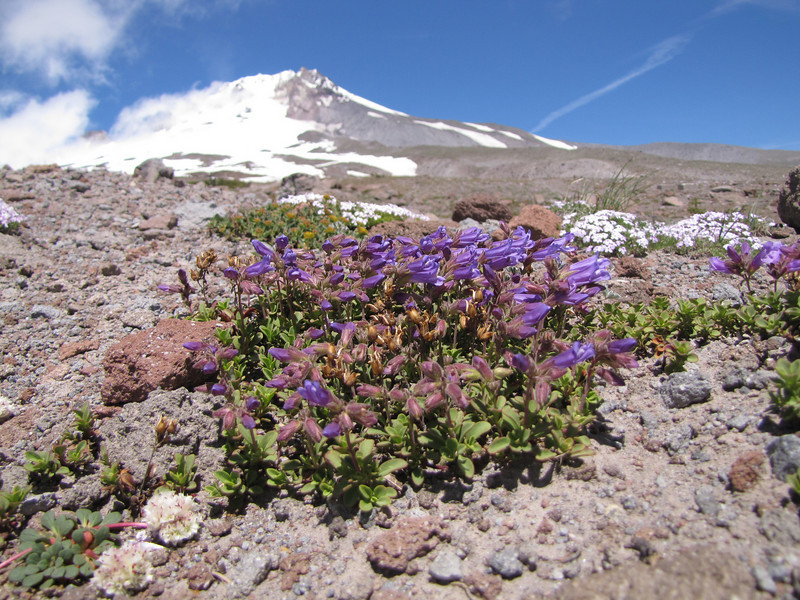 Penstemon davidsonii (Mountaineer Trail, South-side Mt. Hood 3426m)