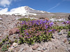 Penstemon davidsonii (Mountaineer Trail, South-side Mt. Hood 3426m)
