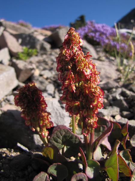 Oxyria digyna (syn. Rumex digyna)  (Near the Watchman 2442m, Crater Lake National Park,