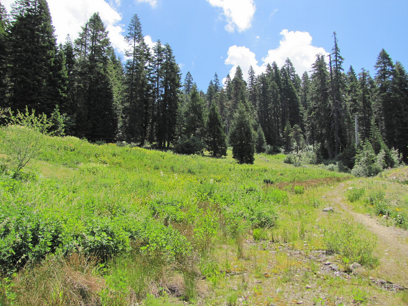 meadows with Veratrum californicum (Trailhead Bigelow Lakes, Oregon Caves National Monument)