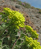 Eriogonum umbellatum? (Mountaineer Trail, Mount Hood, Oregon)
