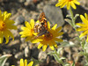 Chlosyne hoffmanni, Hoffmann s Checkerspot on Eriophyllum lanatum (Bigelow Lakes Trail, Oregon Caves National Monument)