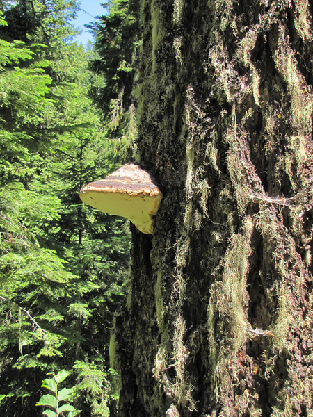 Fungus on Pseudotsuga menziesii (Big Tree Trail, Oregon Caves National Monument)