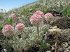 Eriogonum ovalifolium (Cloudcap, Crater Lake National Park, Oregon)