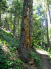 activities of a woodpecker, (Big Tree Trail, Oregon Caves National Monument)