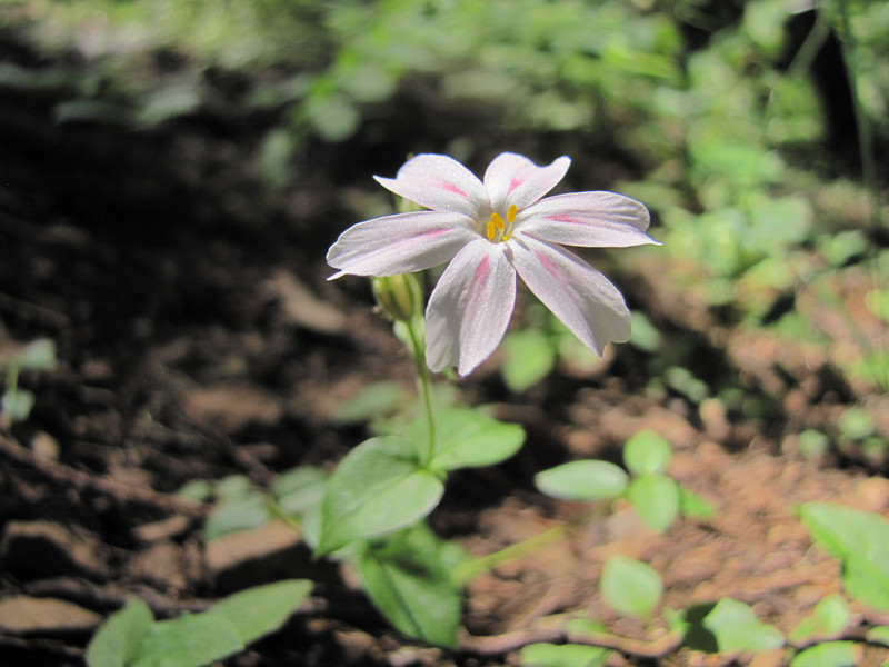Claytonia spec. (Big Tree Trail, Oregon Caves National Monument)