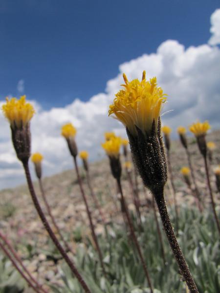 Erigeron bloomeri (Cloudcap, Crater Lake National Park, Oregon)