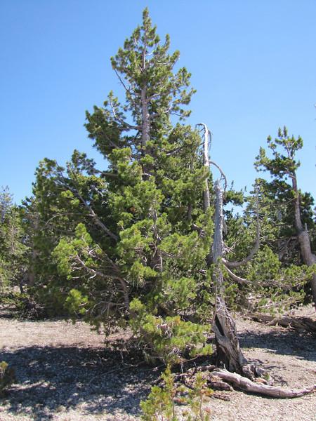 Pinus albicaulis, White Bark Pine (5 needles) (White Bark Pine viewpoint, along Caldera Rim road, Crater Lake National Park, Oregon)