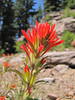 Castilleja spec.  (White Bark Pine viewpoint, along Caldera Rim road, Crater Lake)