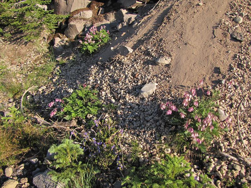 Dicentra formosa (Along Caldera Road, Crater Lake National Park, Oregon)