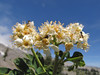Sorbus sitchensis (Mountaineer Trail, Mount Hood, Oregon)
