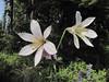 Lilium washingtonianum (along the road to Cloud Cap Campground, Mount Hood)