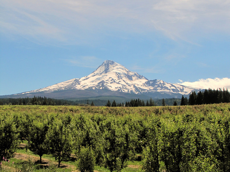 An Orchard and in the background Mt. Hood 3426m