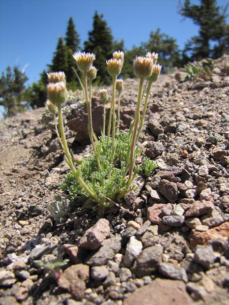 Erigeron compositus? (White Bark Pine viewpoint, along Caldera Rim road, Crater Lake National Park, Oregon)