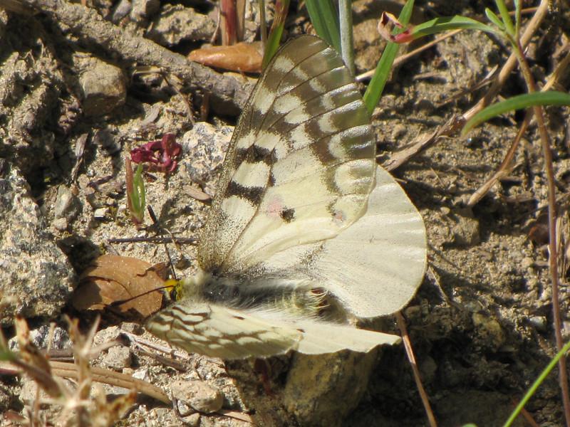 Parnassius smitheus, Rocky Mountain Parnassian (Trailhead Bigelow Lakes, Oregon Caves National Monument)