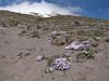 Phlox hoodii (Mountaineer Trail, South-side Mt. Hood 3426m)