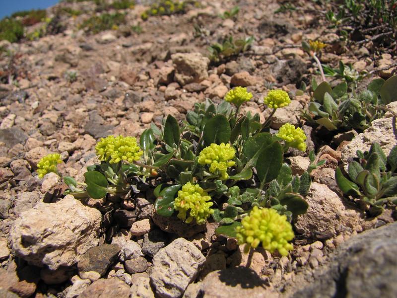 Eriogonum umbellatum? Mount Scot 2721m) highest point in Crater Lake National Park