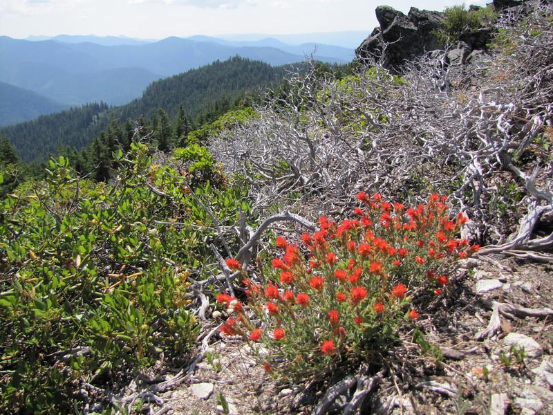 Castilleja spec. Mount Elijah 1929m, Oregon Caves National Monument)