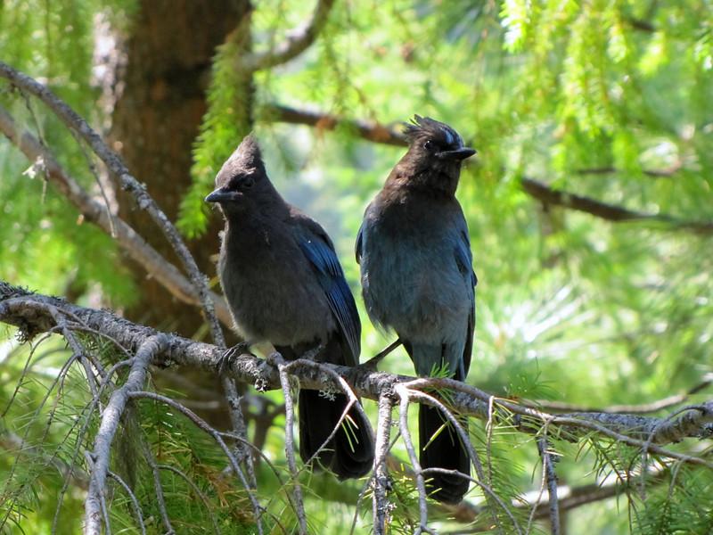 Cyanocitta stelleri, Steller's Jay ( NL: Stellers gaai) Oregon Caves National Monument