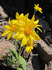 Arnica spec. , descent of Mount Scot