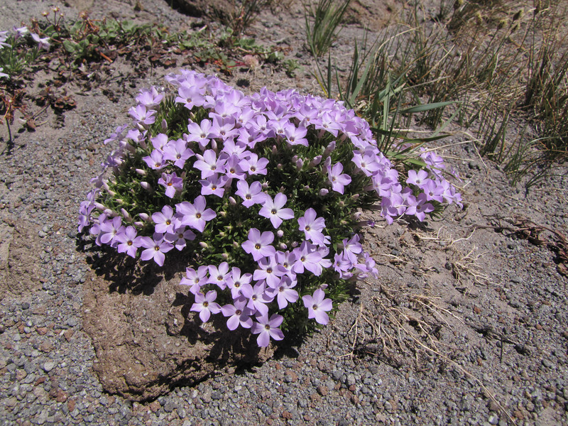 Phlox hoodii (Mountaineer Trail, Mount Hood, Oregon)