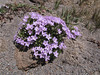 Phlox hoodii (Mountaineer Trail, Mount Hood, Oregon)