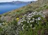Polemonium pulcherrimum, (Cloudcap 2427m, Crater Lake National Park, Oregon)
