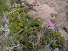 Aster alpigenus var. alpigenus? (Mountaineer Trail, Mount Hood, Oregon)