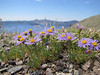 Erigeron elegantulus, pumice habitat, Cloud Cap 2427m (Crater Lake National Park, Oregon)
