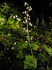 Tiarella trifoliata var. unifoliolata (Lost Creek Campsite, Mount Hood, Oregon)