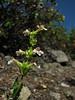 Penstemon deustus Mount Elijah 1929m, Oregon Caves National Monument)