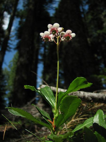 Chimaphila umbellata (Big Tree Trail, Oregon Caves National Monument)(photo Kees Jan)