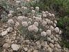 Eriogonum ovalifolium var. purpureum? (Cloudcap 2427m, Crater Lake National Park, Oregon)