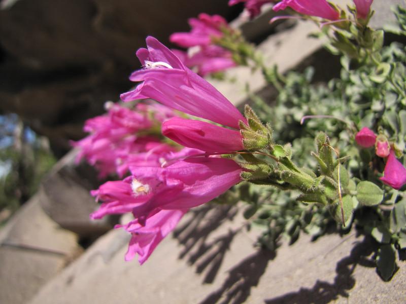 Penstemon rupicola (along road to Cloud Cap Campground, Mount Hood)