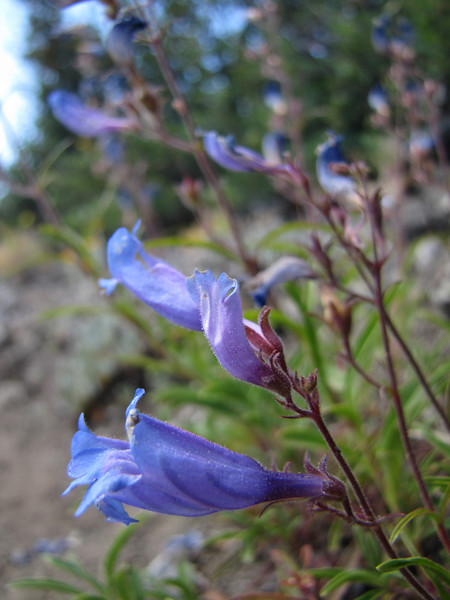 Penstemon spec. (between Bigelow Lake and Mount Eliah, Oregon Caves National Monument)