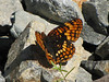 Chlosyne hoffmanni, Hoffmann s Checkerspot, (Trailhead Bigelow Lakes, Oregon Caves National Monument)