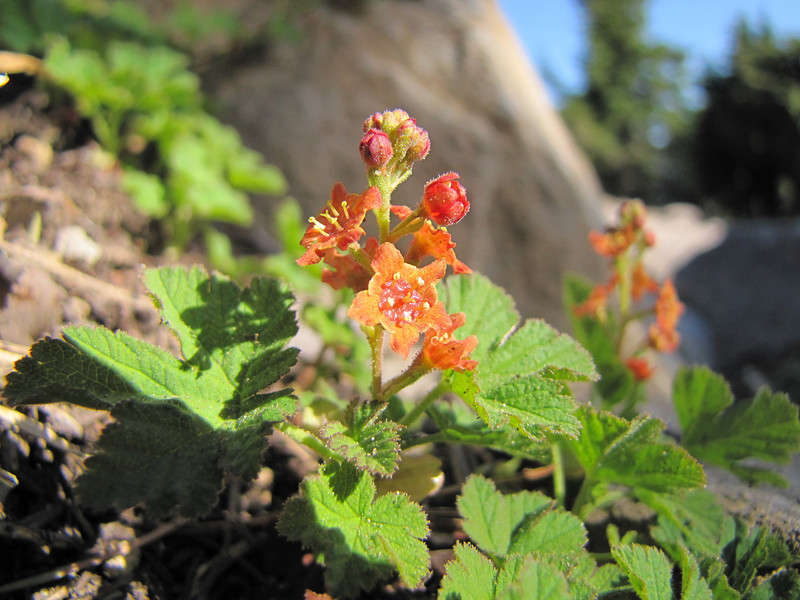Ribes erythrocarpum, Crater Lake Currant - a narrow endemic (Near the Watchman, Crater Lake National Park, Oregon)