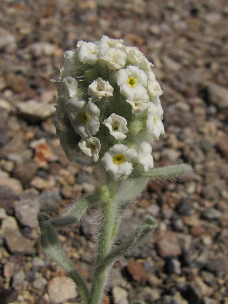 Cryptantha sobolifera (Cloudcap, Crater Lake National Park, Oregon)